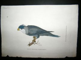Shaw C1800's Antique Hand Col Bird Print. Blue Crested Parrakeet. Hawaii Native